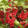 Aalbessen of Ribes rubrum