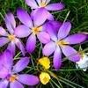 Verwilderingstips: bloembollen die geschikt zijn om in de tuin te laten verwilderen