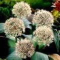 Alliums of sieruien