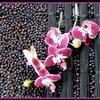 Phalaenopsis in combinatie met koffieriet en jeneverbesjes