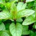 Mentha piperita - pepermunt
