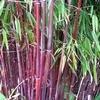 Waarop letten bij het kopen van bamboe voor uw tuin?