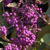 Na de bloei: soorten bessen en vruchten