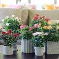 Potroos als kamerplant - Woonplant van de maand mei