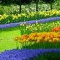 Gebruik van bloembollen in border en in het gazon