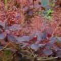 Herfst met Cotinus coggygria of pruikenboom