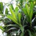 Dracaena kamerplant februari