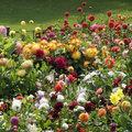 Plant ze nu: zomerbloeiende bloembollen