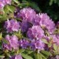 Verzorging van Rhododendron