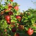 Appeltips: Soorten appelbomen in de tuin planten