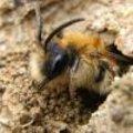Levenscyclus solitaire bijen