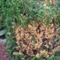 Garden alert: opgelet voor buxustaksterfte vanaf april