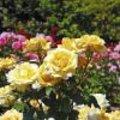 De eerste roos