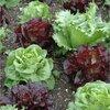 Top 5 van eenvoudigste groenten voor beginners