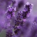 Lavendeltips en weetjes