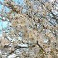 Pruimelaar in volle bloei