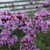 Bloemen voor vlinders: Ijzerhard – Verbena bonariensis
