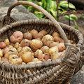 Waarom aardappelen geen dikmakers zijn