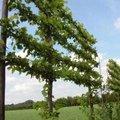 Leibomen: algemeen soorten en onderhoud