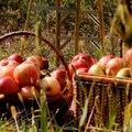 Pluktips en appelsoorten