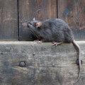 Barrière Radikal, de oplossing tegen ratten en muizen!