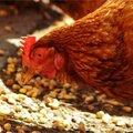 Blik vooruit: vogelgriep in aantocht