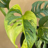 Monstera Adansonii variegata