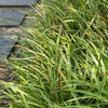 Groenblijvende grassen: een ontdekking