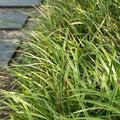 Groenblijvende grassen