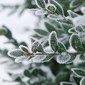 Groenblijvende planten in de winter