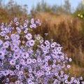 Ideeën voor de herfstborder: Asters