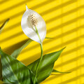 Kamerplant van de week - Inge stelt voor: Spathiphyllum 'Alana'