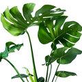 Kamerplant van de week - Inge stelt voor: de Gatenplant