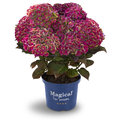 Magical hortensia's: Nieuwe kleuren in de tuin