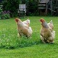 Neerhofdieren: interessant met pluimen