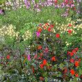Salvia, voor een zomer vol kleur