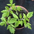Tips voor tomaten: voor een geslaagde, rijke oogst!