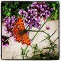 Vlindertelweekend Natuurpunt