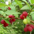 Plant in de kijker: Lonicera fragrantissima