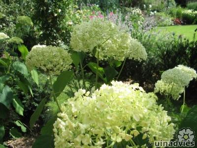 foto Hydrangea arborescens 'Annabelle'