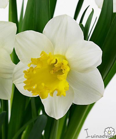 foto Narcissus (algemeen)