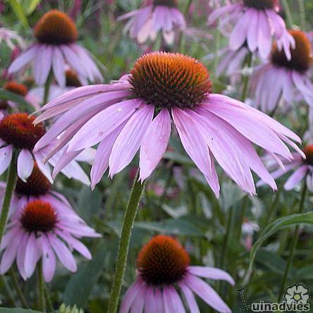 foto Echinacea purpurea (algemeen)