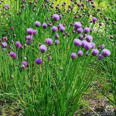 foto Allium schoenoprasum