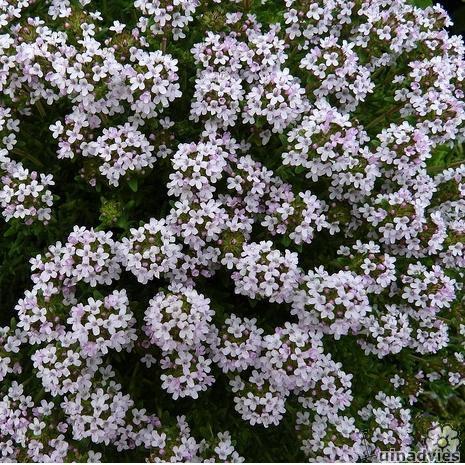 foto Thymus vulgaris
