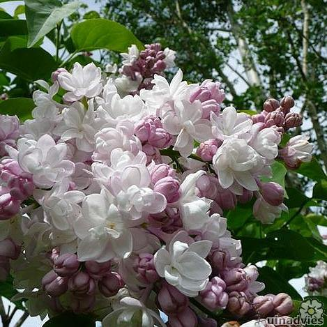 foto Syringa  'Beauty of Moscow'