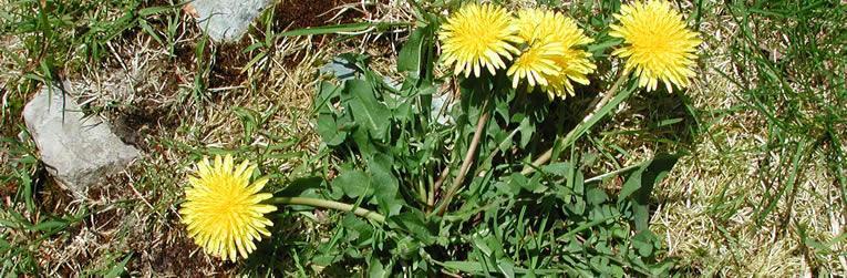 Bladeren van de Paardenbloem (Taraxacum offininale)