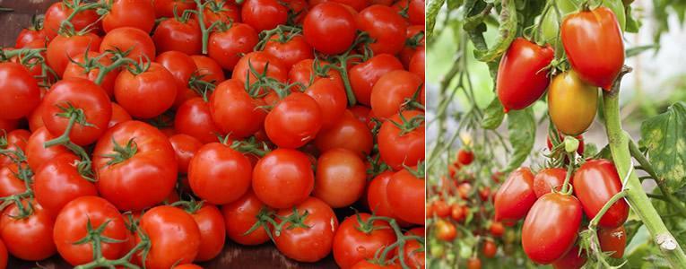 Zaadvaste, hybride of geënte tomaten