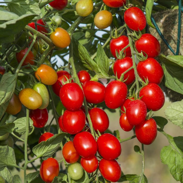 Hybride tomaten