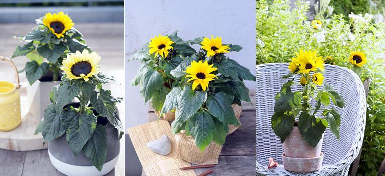 langbloeiende zonnebloemen in pot