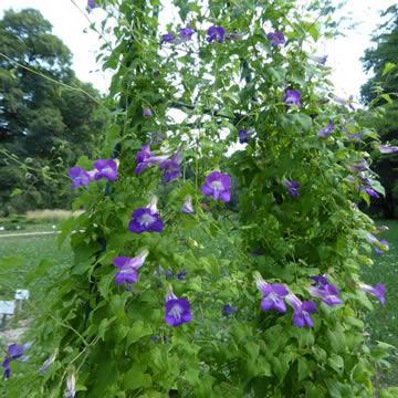 Maurandya scanden 'Violet Glow'
